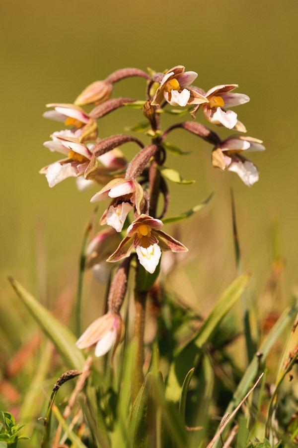 Marsh Helleborine