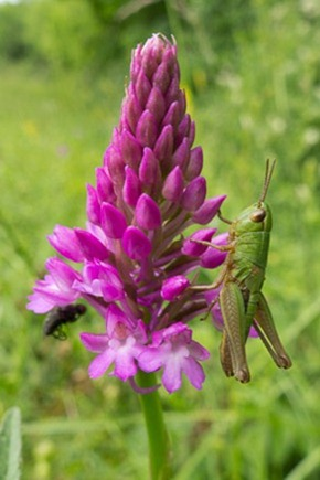 Pyramid Orchid and Common Green Grasshopper