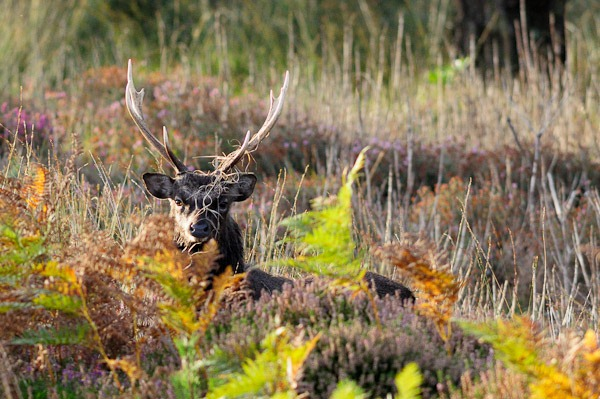 Sika Stag