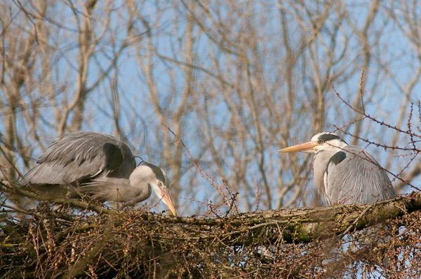 Grey Heron nest building