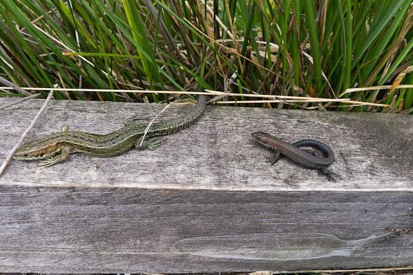 Common Lizards