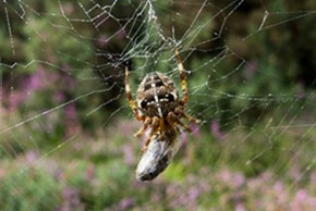 Cross or garden spider
