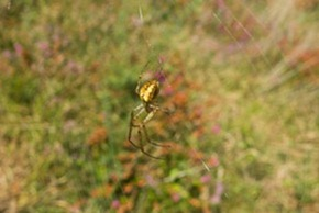 Common Orb Weaver