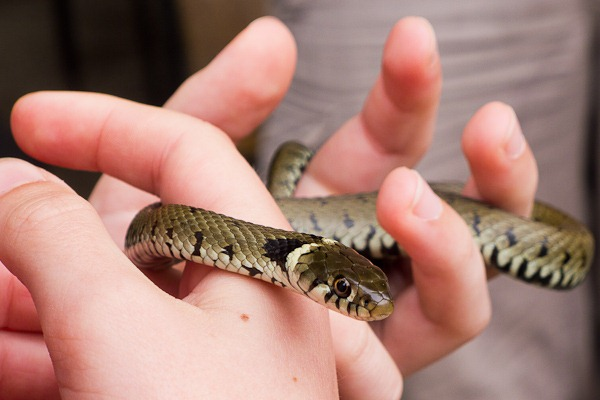 Young Grass Snake found on the reptile ramble at Arne