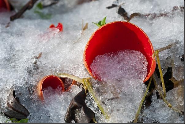 Scarlet Elfcup at Stenner Wood