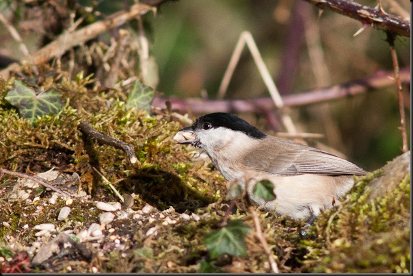 Marsh Tit with Sunflower heart
