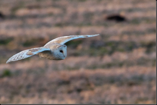 Barn Owl hunting over the moss