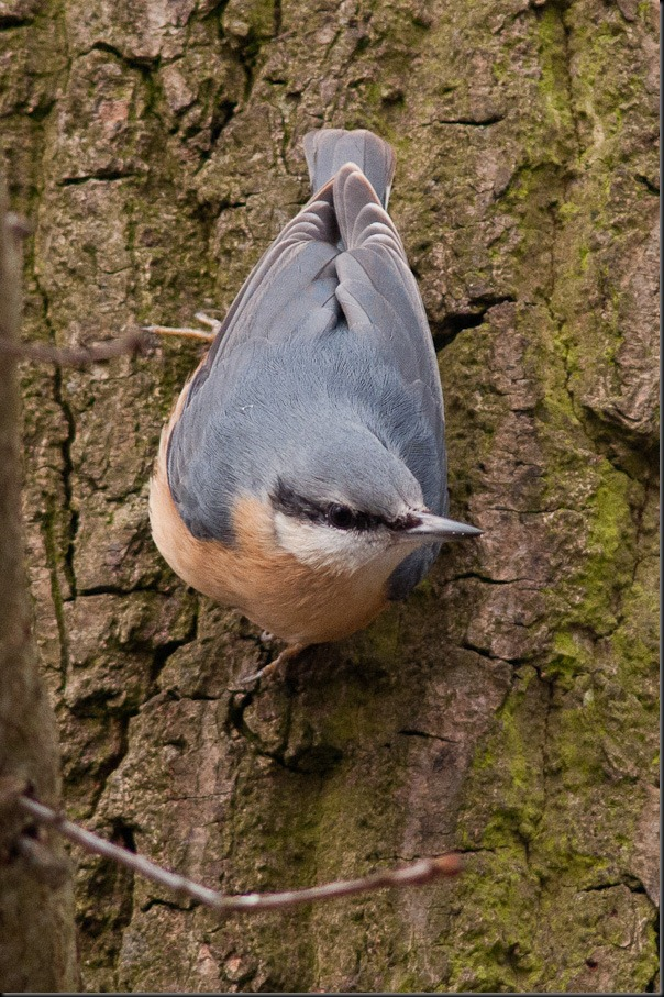 Wood Nuthatch at Burton Mere