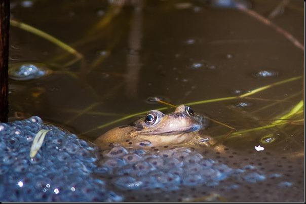 Common Frog at Chorlton Water Park.