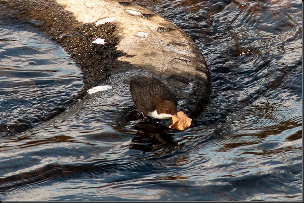 Dipper on the River Mersey about to take flight with nesting material