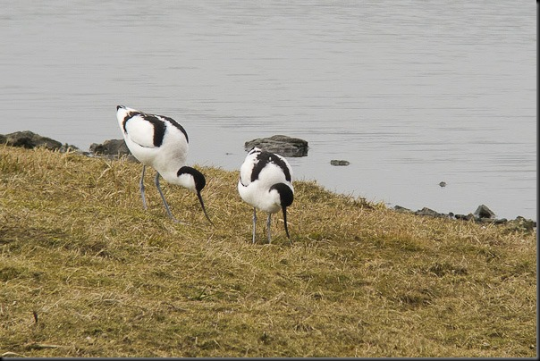 Recently arrived Avocets at Leighton Moss