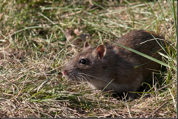 One of the almost legendary rats found at Burton Mere