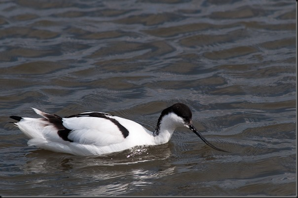 Avocet at Marshside