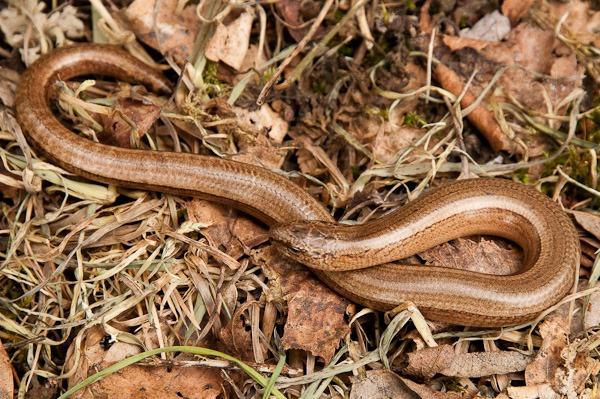 Slow-worm at Shapwick Heath