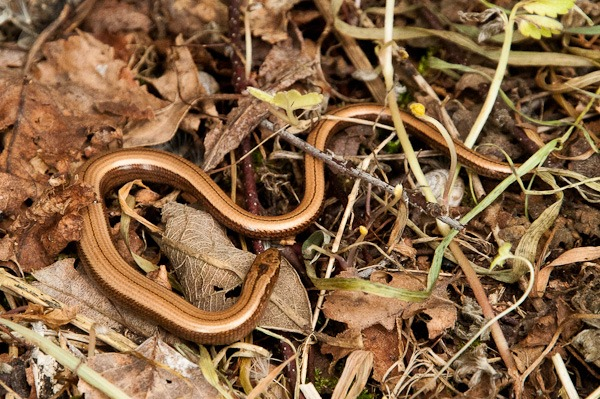 Slow-worm in leaf litter at Shapwick Heath