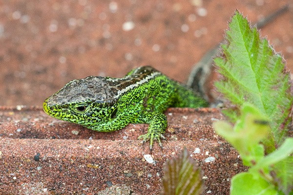 Sand Lizard (male) on clay pantile