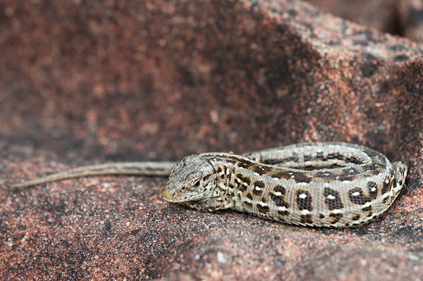 Sand Lizard (female