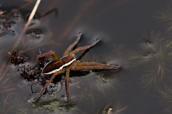 Raft Spider at Coombe Heath