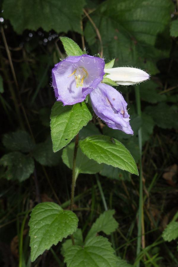 Nettle leaved Bellflower