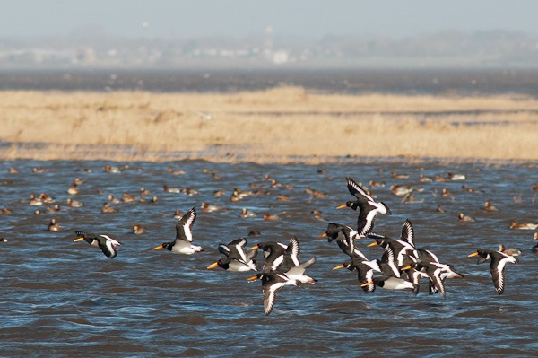 Oystercatchers taking flight