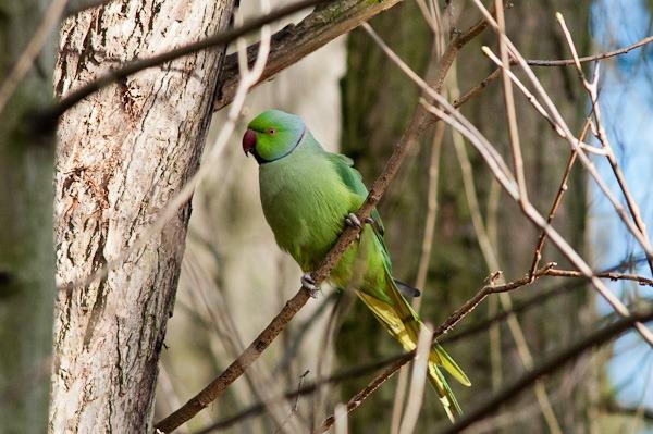 Ringed necked Parakeet -  Stenner Woods