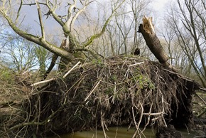 Crack Willow blown over in Stenner Woods