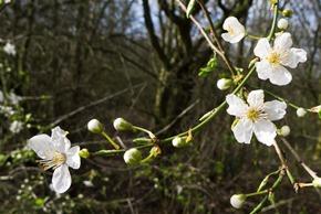 Blackthorn in flower adjacent to Millgate Fields