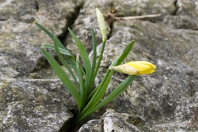Wild Daffodils growing in limestone pavement at  Far Arnside