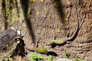 Pair of Italian Wall Lizards