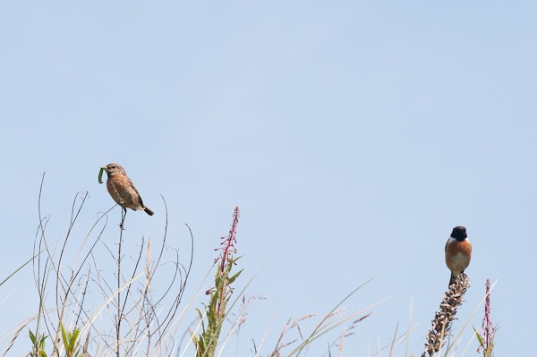 Male and female Stonechat