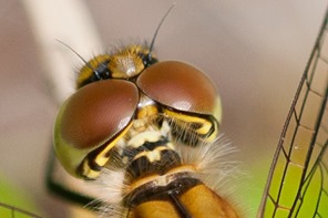 Keeled Skimmer. If you select the photo it should take you to a closer view of the compound eyes.