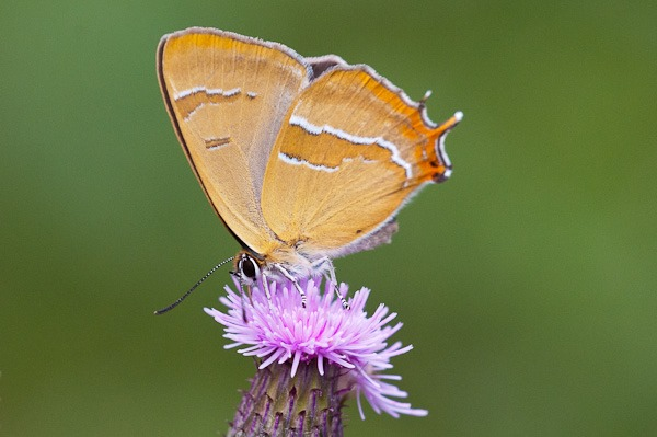Brown Hairstreak at Alners Gorse, Dorset