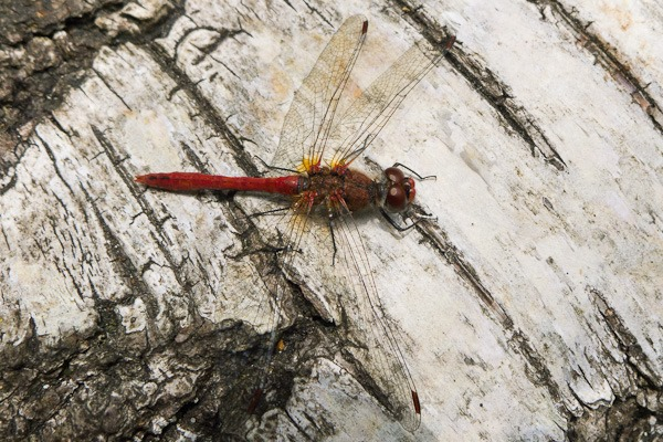 Red-veined Darter – male