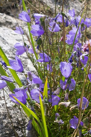 Harebells at Corfe Castle