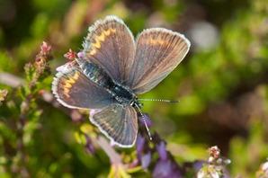 Silver Studded Blue (female)