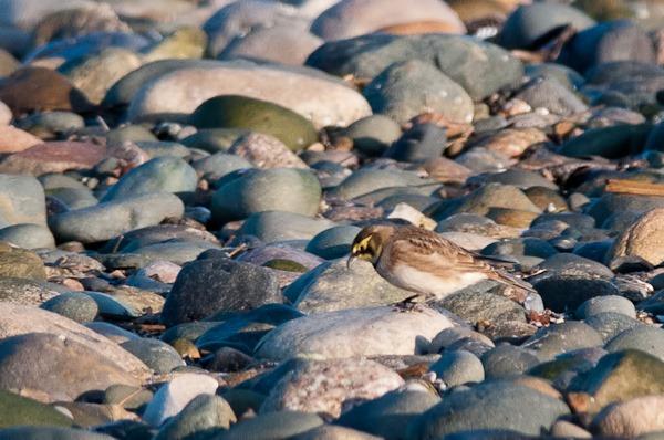 Shore Lark amongst the pebbles at Rossall Point, Fleetwood.