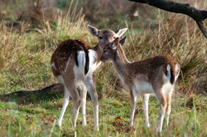 Doe a deer and fawn