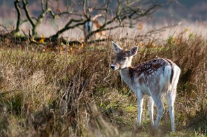 Bambi ! Fallow deer fawn complete with spotted summer coat