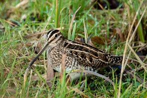 Common Snipe in front of the lower hide