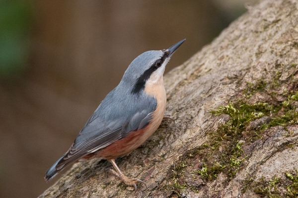 Nuthatch in the woodland at Leighton Moss