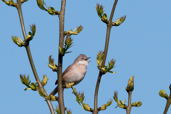 Another Whitethroat belting out its distinctive scratchy song from a young Ash tree on Barlow Tip
