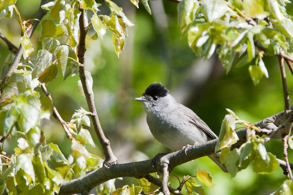 A male Blackcap high up in a Birch tree