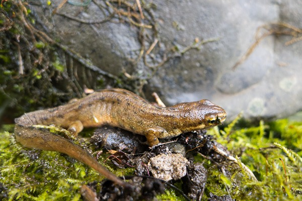 Smooth Newt amongst the moss and rocks