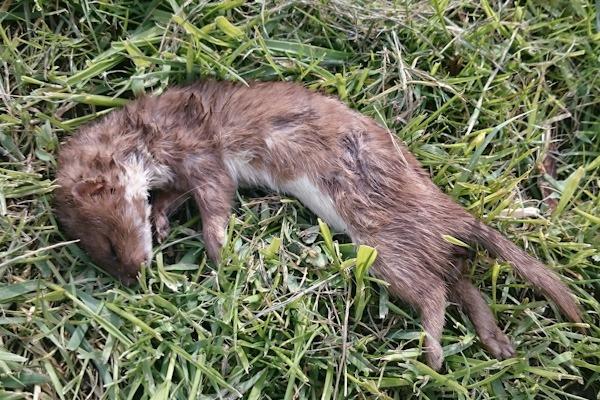 Weasel in Kenworthy Wood