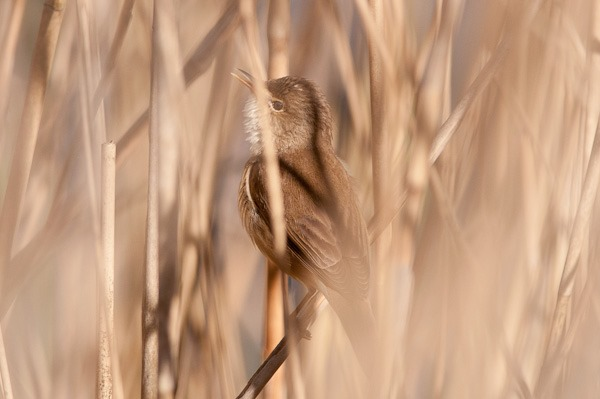 Reed Warbler singing from within the reedbed