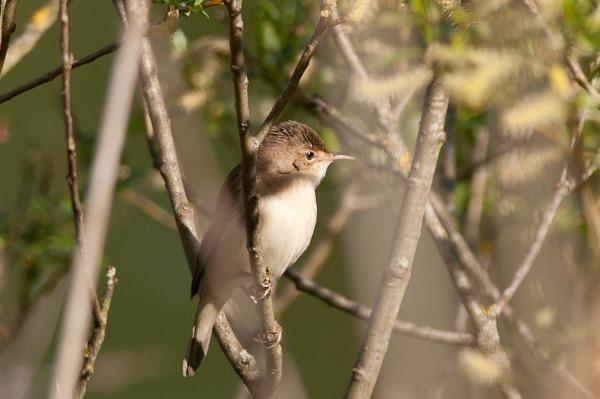 Reed Warbler at Chorlton Water Park