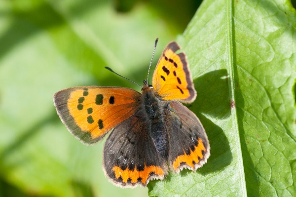 A Small Copper, one of many Butterflies. Unfortunately too early for the more uncommon Hairstreaks.