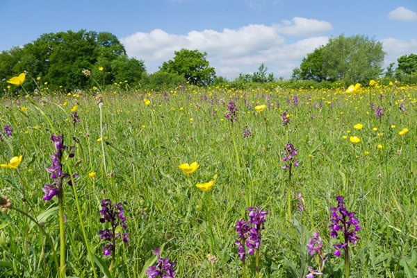 Green winged Orchids and Meadow Buttercups at Bernwood Meadow