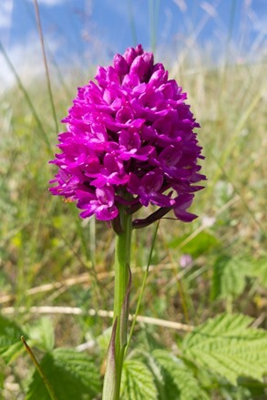 One of thousands of Pyramid Orchids amongst the Sand Dunes