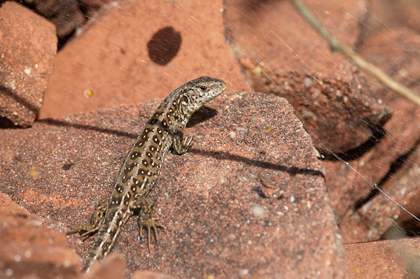 Common Lizard catching a few rays of sunshine
